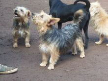 KALLE, Hund, Yorkshire Terrier-Mix in Spanien - Bild 5