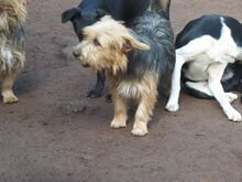 KALLE, Hund, Yorkshire Terrier-Mix in Spanien - Bild 6