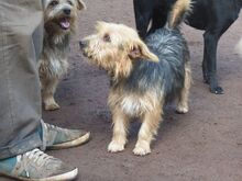 KALLE, Hund, Yorkshire Terrier-Mix in Spanien - Bild 7