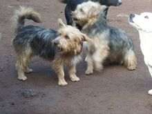 KALLE, Hund, Yorkshire Terrier-Mix in Spanien - Bild 8