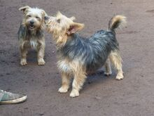 KALLE, Hund, Yorkshire Terrier-Mix in Spanien - Bild 9