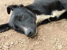 JANA, Hund, Border Collie-Mix in Werl - Bild 32