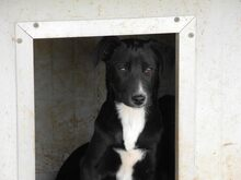 JANA, Hund, Border Collie-Mix in Werl - Bild 41