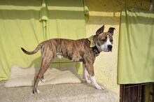 STAFI, Hund, Staffordshire Bull Terrier-Mix in Slowakische Republik - Bild 1