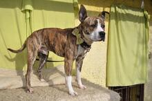 STAFI, Hund, Staffordshire Bull Terrier-Mix in Slowakische Republik - Bild 10