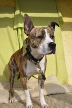 STAFI, Hund, Staffordshire Bull Terrier-Mix in Slowakische Republik - Bild 11