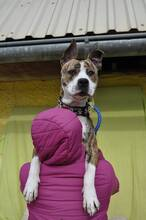 STAFI, Hund, Staffordshire Bull Terrier-Mix in Slowakische Republik - Bild 2