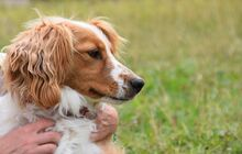 BOBO, Hund, Irish Setter-Mix in Slowakische Republik - Bild 2