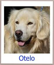 OTELO, Hund, Golden Retriever-Mix in Zypern - Bild 14