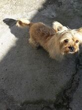YAKI, Hund, Terrier-Mix in Spanien - Bild 2