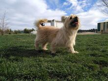 YAKI, Hund, Terrier-Mix in Spanien - Bild 3