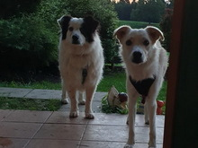 SALVO, Hund, Border Collie in Prem - Bild 2