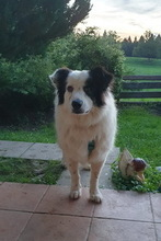 SALVO, Hund, Border Collie in Prem - Bild 4