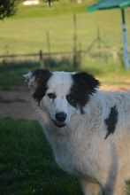 SALVO, Hund, Border Collie in Prem - Bild 5