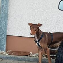 KAY, Hund, Podenco-Mix in Spanien - Bild 2