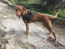 KAY, Hund, Podenco-Mix in Spanien - Bild 7
