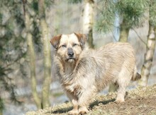 USCHI, Hund, Terrier-Mix in Gefrees - Bild 2