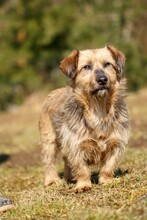 USCHI, Hund, Terrier-Mix in Gefrees - Bild 6