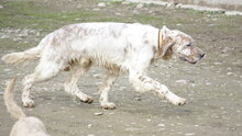 ZERU, Hund, English Setter in Spanien - Bild 4