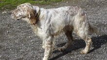 ZERU, Hund, English Setter in Spanien - Bild 5