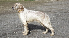 ZERU, Hund, English Setter in Spanien - Bild 6