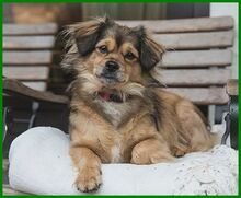 JULINA, Hund, Pekingese-Mix in Lauf - Bild 1