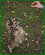 JULINA, Hund, Pekingese-Mix in Lauf - Bild 2