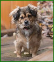 JULINA, Hund, Pekingese-Mix in Lauf - Bild 3