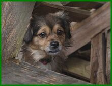 JULINA, Hund, Pekingese-Mix in Lauf - Bild 5