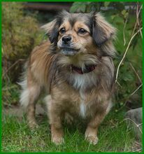 JULINA, Hund, Pekingese-Mix in Lauf - Bild 6