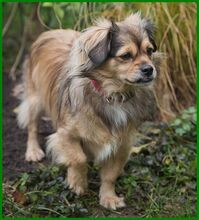 JULINA, Hund, Pekingese-Mix in Lauf - Bild 7
