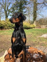 PABLO, Hund, Dobermann in Friedeburg - Bild 1