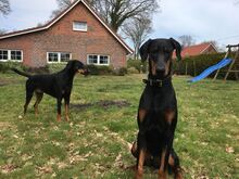 PABLO, Hund, Dobermann in Friedeburg - Bild 2