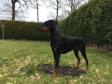 PABLO, Hund, Dobermann in Friedeburg - Bild 3
