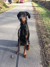 PABLO, Hund, Dobermann in Friedeburg - Bild 4