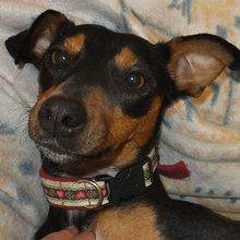 SARA, Hund, Pinscher-Mix in Spanien - Bild 1