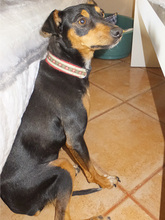 SARA, Hund, Pinscher-Mix in Spanien - Bild 10