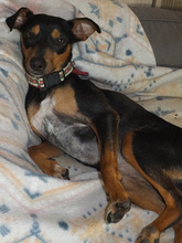 SARA, Hund, Pinscher-Mix in Spanien - Bild 11