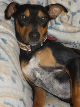 SARA, Hund, Pinscher-Mix in Spanien - Bild 12