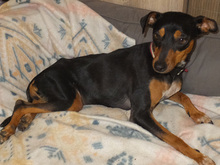 SARA, Hund, Pinscher-Mix in Spanien - Bild 13