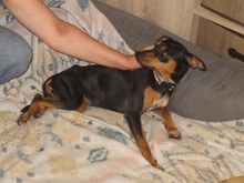 SARA, Hund, Pinscher-Mix in Spanien - Bild 14