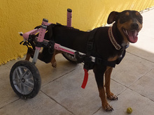 SARA, Hund, Pinscher-Mix in Spanien - Bild 16