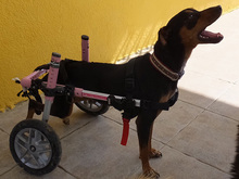 SARA, Hund, Pinscher-Mix in Spanien - Bild 17