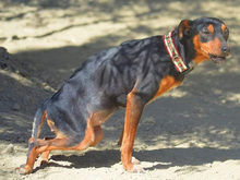 SARA, Hund, Pinscher-Mix in Spanien - Bild 4