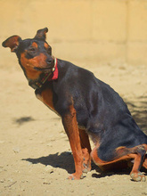 SARA, Hund, Pinscher-Mix in Spanien - Bild 5
