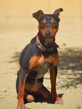 SARA, Hund, Pinscher-Mix in Spanien - Bild 6
