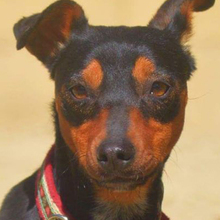 SARA, Hund, Pinscher-Mix in Spanien - Bild 7