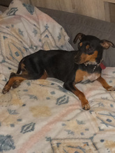 SARA, Hund, Pinscher-Mix in Spanien - Bild 8