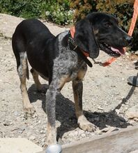 ELMO, Hund, Pointer-Mix in Wertach - Bild 14