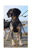 ELMO, Hund, Pointer-Mix in Wertach - Bild 5
